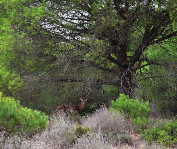 ciervo en Doñana